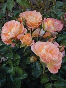 "Peach Drift, Groundcover Roses, Product Description  Bright peach-apricot cupped 1 1/2"" blooms are produced on a low growing, rounded plant with dark green foliage."