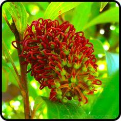 Hakea archaeoides floral profile #australianplant #droughttolerant #screeningshrub #funkyflowers #nectar