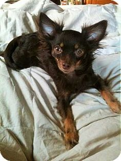★1/21/16 SL★Mastic Beach, NY - L.I. CHIHUAHUA RESCUE, Chihuahua. Meet SCRUFFY !!, a dog for adoption. Gorgeous Scruffy is a 4 yr young neutered male Chihuahua who prefers a quiet home where he can be the only pet! He loves to go for walks, is house trained and crate trained, but most of all he loves to sit in your lap for petting and affection. http://www.adoptapet.com/pet/14027194-mastic-beach-new-york-chihuahua