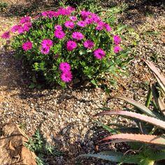 Spaanse margrieten in de volle zon!