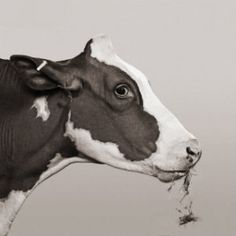 """Moo"" may represent an idea, but only the cow knows. 