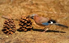 jay and pinecone by marco branchi on 500px
