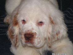 The dog in world: Clumber Spaniel dogs