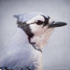 Blue Jay Bird Portrait by Allison Trentelman | rockytopstudio.com