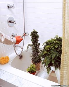 Cleaning Houseplants - Plants need showers, too, when dusty or dried out by indoor heating.