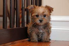 #Morkie #dogs #cute looks like POKEY