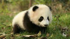 【パンダ可愛い】赤ちゃんパンダの可愛すぎる一日❤ A cute day in the baby panda