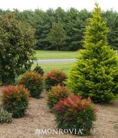 evergreen; red highlights fall & winter Sienna Sunrise® Heavenly Bamboo - Monrovia - Sienna Sunrise® Heavenly Bamboo