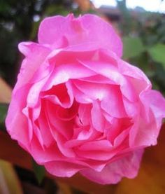 Roses play a vital role in my horticulture therapy programs.