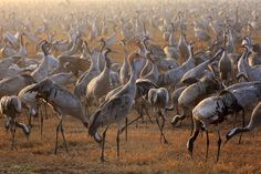 Grus grus by Danik Charsky on 500px