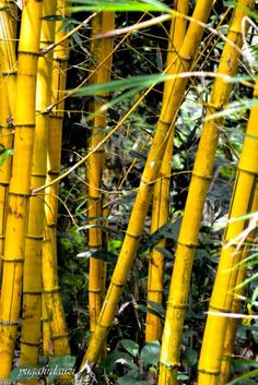Bambu kuning cantik warnanya