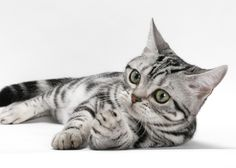 Not all cats and dogs fight like, well, cats and dogs, and that's particularly true for these 10 dog-friendly cat breeds. And that's great, because doesn't every Fido need a feline friend?