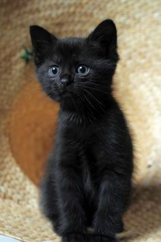 What an adorable black kitten Kittens And Puppies, Cute Cats And Kittens, I Love Cats, Kittens Cutest, Cool Cats, Black Kittens, Pretty Cats, Beautiful Cats, Animals Beautiful