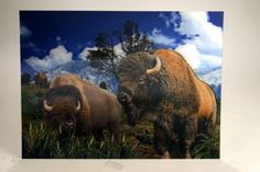 3D Poster Bison at theBIGzoo.com, a family-owned store. Check our sales & FREE Shipping.