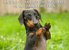 Dachshunds love grabbing squirrels!