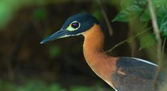 white-backed_night-heron_022.jpg (1000×550)