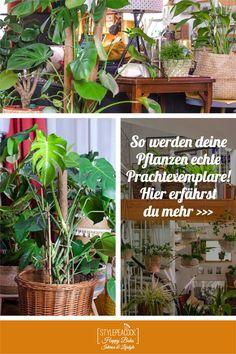 Tolle gesunde Zimmerpflanzen? Du denkst, du hast keinen grünen Daumen? Das dachte ich auch lange und jetzt besitze ich einen prächtigen Urban Jungle. Hier zeige ich dir, wie deine Pflanzen gesund und glücklich werden, wie du Schädlinge und Krankheiten erkennst. Welche Pflanze braucht wie viel Licht und Wasser? Richtig gießen, düngen und umtopfen. Gewusst wie! Ob Calathea, Bogenhanf, Efeutute, Kaktus oder Monstera: so bleiben sie alle schön!
