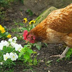 Loved my hens to eat the bugs and ticks and weeds, but my flower heads, and vegetable garden, not so much!