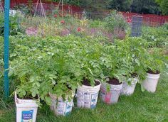 First strawberries & lettuce/greens in windowsill boxes & tomatoes in 5-gal buckets. Now taters! They're not pretty, but decorate them how you want with decals, or paint & stencils or stamps.
