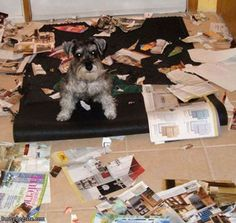 This was Savannah -- tore apart a dozen magazines on time, 5 (yes, library books when I was at work Oh Hey, You're Home Early – 24 Pics--- yep we had a smart little schnauzer that opened lunch bags and tipped over trash cans. Funny Animal Videos, Funny Animal Pictures, Dog Pictures, Funny Animals, Cute Animals, Animal Funnies, Animal Pics, Walking Pictures, Animal Care
