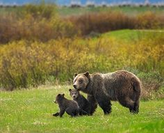 Demand that the Fish & Wildlife Service halt this misguided plan and give Yellowstone's grizzly bears a fighting chance at long-term recovery.https://secure.nrdconline.org/site/Advocacy;jsessionid=5F3069E8F32F26737D0BC96129435614.app330a?cmd=display&page=UserAction&id=4029&autologin=true&s_src=EMOGRZPETACT0616&utm_source=alert&utm_medium=actr&utm_campaign=email  Take Action!
