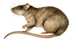 drawing rat - Google Search