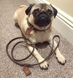 When your style is on point  massive thanks to @houndsandhides for the awesome custom collar and leash #puglife