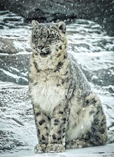 By MHz snow leopard Toronto Zoo, Snow Leopard, Animals, Animais, Animales, Animaux, Animal, Dieren