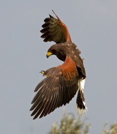 Harris Hawk 10c by ahisgett, via Flickr