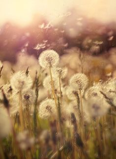 We use to blow dandelions when we were kids...we thought is was so pretty.  what happened to the simpler things in life.