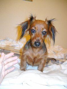 My beautiful puppy Luna, she's a miniature dachshund