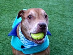 BISCUIT - 20426 - - Manhattan  TO BE DESTROYED 02/23/18: A private donor has graciously offered to pay $300 to the New Hope partner that pulls Biscuit 20426 from the Manhattan ACC. The donor requests that Liam go directly to either an adopter, foster, or sanctuary setting.** A volunteer writes: Biscuit is a real trooper. I am really impressed by him and admire his will to make the best of his new situation. Biscuit was a family dog whose age started to hinder many things a
