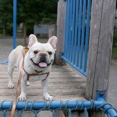 ネットを登りきって笑顔 #フレブル #フレンチブルドッグ #buhi #ブヒ #frenchbull #frenchbulldog