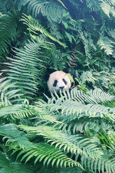 Panda! by Michelle Young Sichuan, China  Pandas! by Michelle YoungSichuan, China