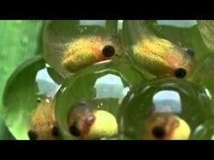 Life cycle of a Frog! Excellent video with cute music, illustrations, photos, and videos and frog sounds.