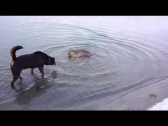Rottweiler and seal are playing!! on a beach in Holland