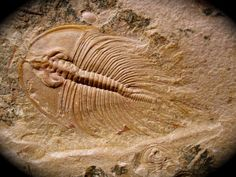 Name: Olenellus fowleri Palmer, 1998 Trilobite Order Redlichiida, Family Olenellidae  Locality: Lincoln County, Nevada  Trilobite Formation: C- Shale, Combined Metals Member, Pioche Shale Formation  Stratigraphy: Middle Cambrian