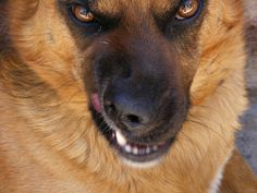 Home Defense: Top 10 Badass Guard Dogs - Animals And Pets, Funny Animals, Animal Memes, Survival, Schaefer, German Shepherd Dogs, German Shepherds, Shepherd Puppies, Home Defense