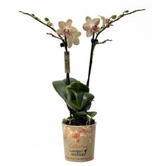 Little kolibri orchid 2tak cypres