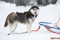 Malamute perro de raza heladas foto