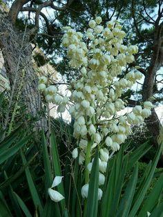 Flor de Izote..La flor Nacional de El Salvador☺