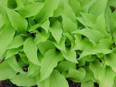 October 2013 Last shipping, Hostas Lemon Lime, Live fully rooted Plant, Perennial on Etsy, $12.00
