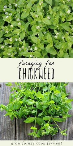 Foraging for Chickweed Chickweed is a highly nutritious edible weed that also has medicinal benefits. Foraging for chickweed is easy, and it may even be growing in your backyard! Medicinal Weeds, Potager Bio, Herbs For Health, Health Tips, Edible Wild Plants, Herbal Plants, Wild Edibles, Healing Herbs, Growing Herbs