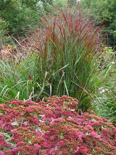 shenandoah switch grass with autumn joy sedum - also consider coneflowers and black eyed susans