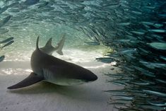 Lemon Shark by scott Expression
