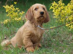 Basset Fauve De Bretagne Puppy