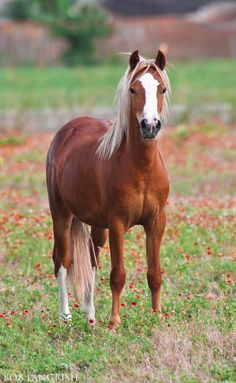 Scarborough Rapture, chestnut Welsh Mountain Pony with lovely flaxen mane and tail.