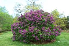 How to prune lilacs. How I would love to have a big, correct that, several big lilac bushes or trees. Prune Lilac Bush, Lilac Pruning, Container Gardening, Gardening Tips, Vegetable Gardening, Lilac Bushes, Growing Seeds, Trees And Shrubs, Garden Plants