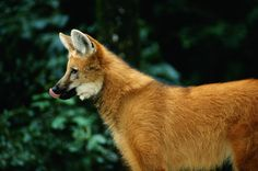 Endangered Animals in Brazil:  Maned wolf (Lobo-guará) (Chrysocyon brachyurus).
