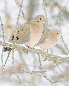 Mourning Doves huddle to stay warm. - from Ana Rosa